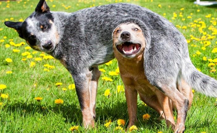 כלב בקר אוסטרלי – Australian Cattle Dog