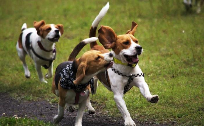 ביגל – Beagle