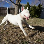 בול טרייר – Bull Terrier