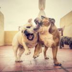 בולדוג – Bulldog