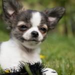 צ'יוואוואה – Chihuahua