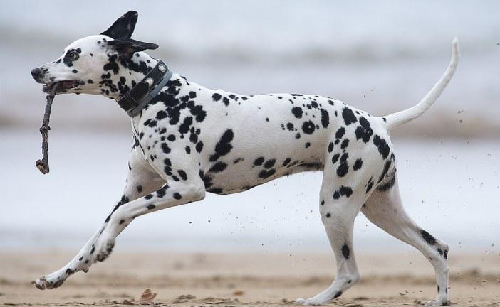 דלמטי – Dalmatian
