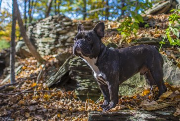 בולדוג צרפתי – French Bulldog