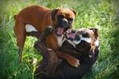 איך להפריד בין כלבים רבים בלי להפגע