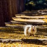 פומרניאן – Pomeranian