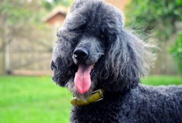 פודל – Poodle