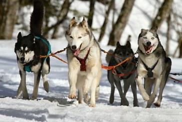 האסקי סיבירי – Siberian Husky