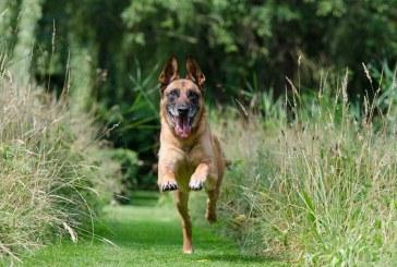 עבודת השטח לביסוס מנהיגות להקה עם כלב בוגר