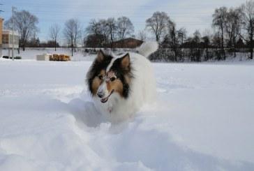 כלב רועים שטלנדי – Shetland Sheepdog