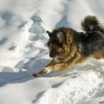 מאסטיף טיבטי – Tibetian Mastiff