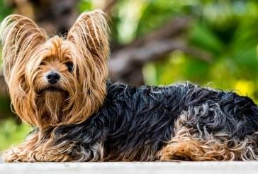 יורקשייר טרייר – Yorkshire Terrier