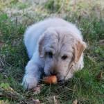 דיאטה טבעית לגמרי לכלבים