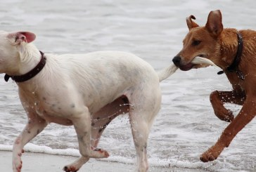 ההשפעה של דיאטת חלבונים על התנהגות הכלב