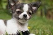 בלוטת התריס והכלב שלך