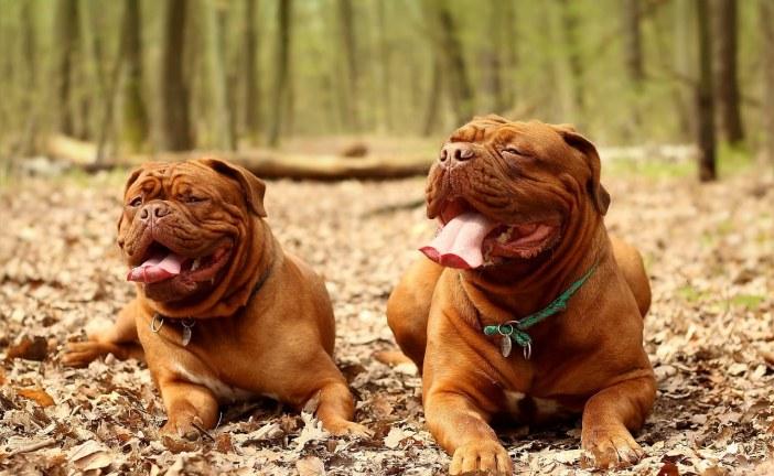 דוג דה בורדו – Dog De Bordeaux