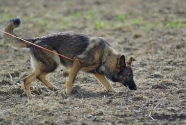 הדעיכה של הרועה הגרמני כ-כלב עבודה