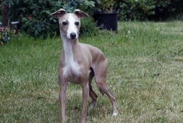 גרייהאונד איטלקי – Italian Greyhound