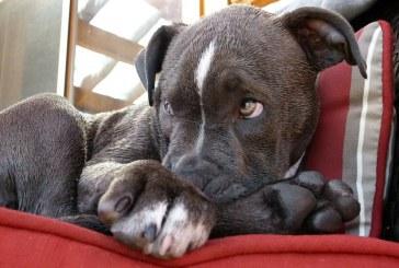 פיטבול טרייר אמריקאי –  American Pit Bull Terrier