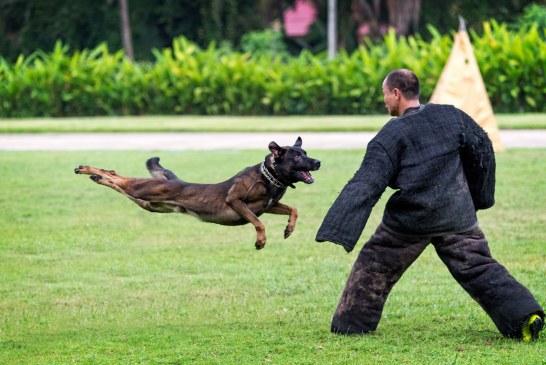 ההבדל בין כלבי שוצהונד ל-KNPV