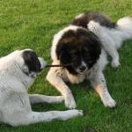 רועה קווקזי – Caucasian Shepherd