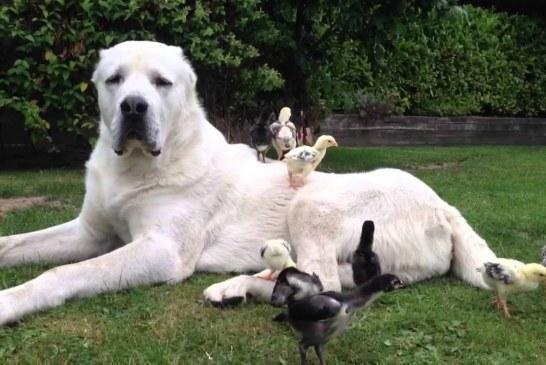 רועה אסיאתי – Central Asian Shepherd