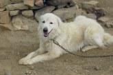 מרמנו – Maremma Sheepdog