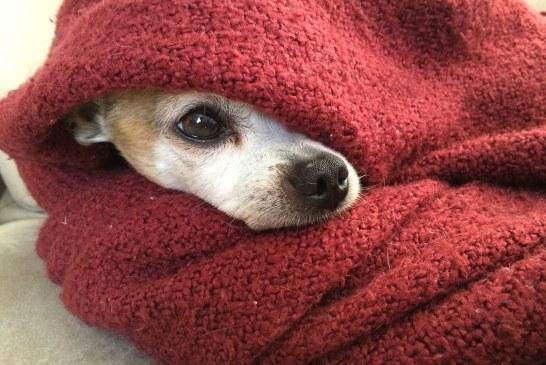 10 גזעי כלבים עם סכנות בריאות הכי גדולות