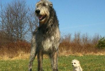 וולפהאונד אירי – Irish Wolfhound