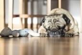 איך לעזור לכלב עם כאבי פרקים?