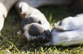 למה כלבים לועסים או מלקקים כפות רגליים?